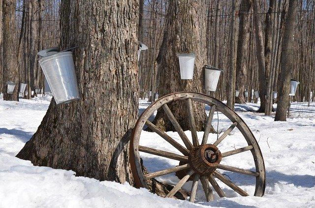 stromy s nádobami na javorový sirup.jpg